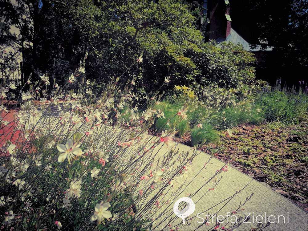 Gaura, zagrabiona ścieżka, ogród w mieście, zabytek, byliny i trawy