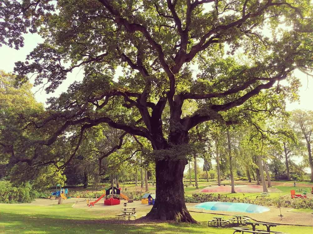 Stare drzewo przy placu zabaw